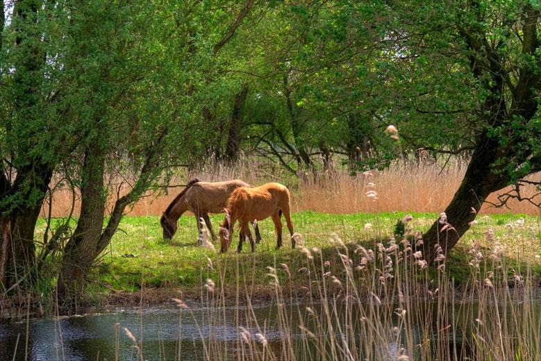 Konik Pferde Flevoland