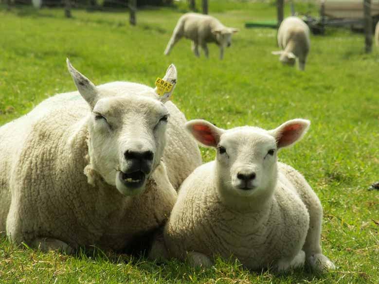 Schafe in Hindeloopen, Friesland