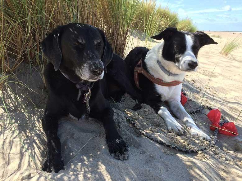 Hunde in den Dünen