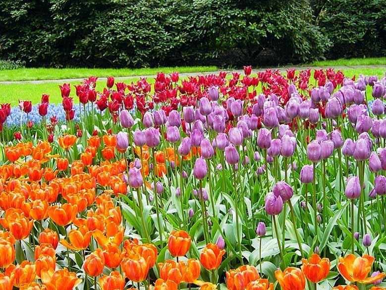 Tulpen soweit das Auge reicht