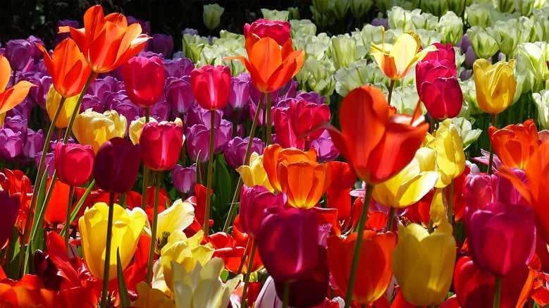 Tulpenfelder im Keukenhof