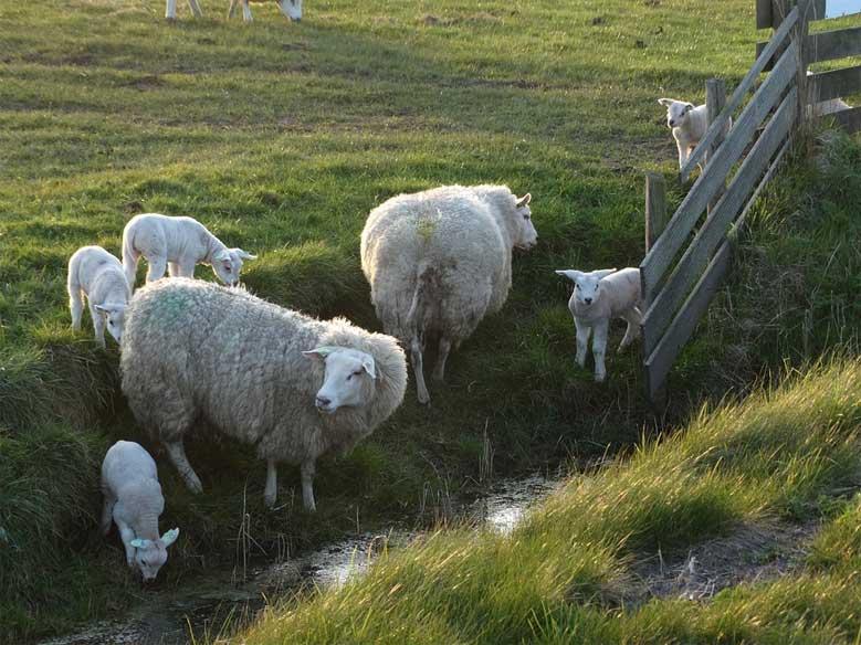 Schafe an einem Kanal in Nordholland