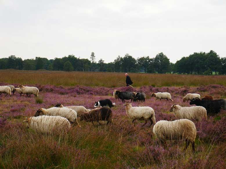Heidelandschaft mit Schafen in Drenthe