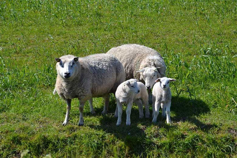 Schafe auf Texel