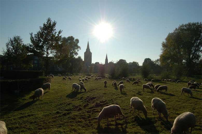 Schafe in Winterswijk, Gelderland