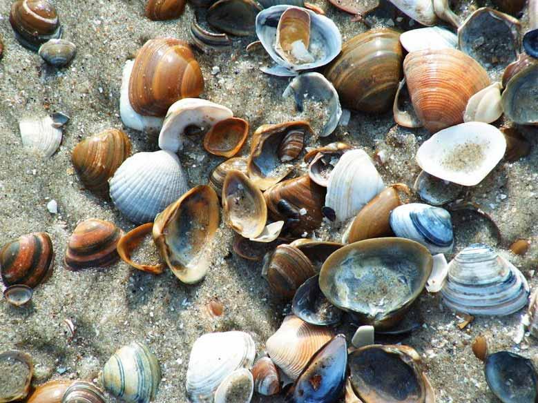 Muscheln am Strand von Schoorl aan Zee